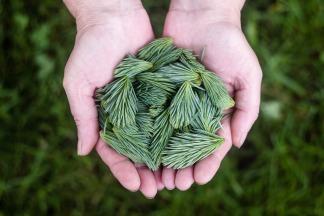 pine-leaves-691639_1920